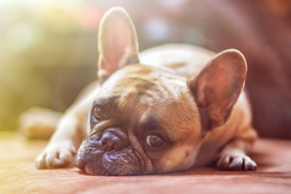 Atencion veterinaria para Perros corazón grande